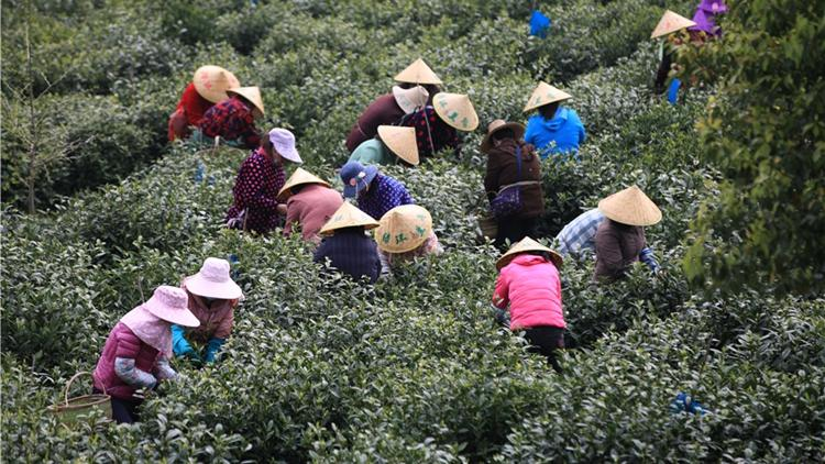 Pickers harvest tea as tourism rebounds in Anhui