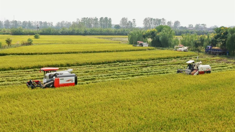 Rice enters harvest season in Anhui